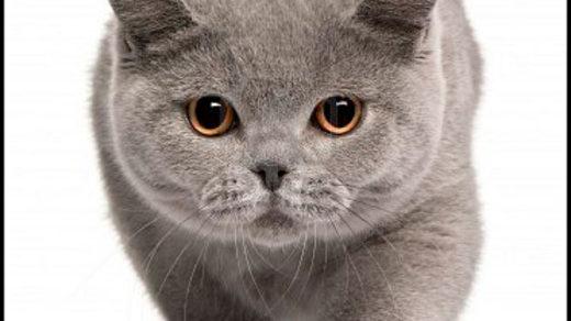Кошки британской породы фото, британские коты - фото 5