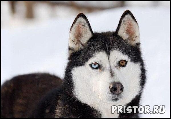 Порода собак Хаски - фото прикольные, красивые 8