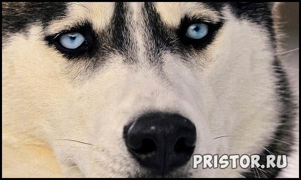 Порода собак Хаски - фото прикольные, красивые 5
