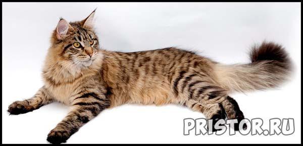 Порода кошек Мейн-кун - фото, описание, уход, характер 1