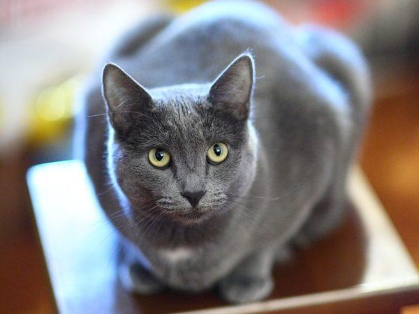 Порода кошек Русская голубая - фото, описание, характер, уход 2