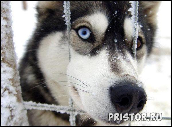 Порода собак Хаски - фото прикольные, красивые 9