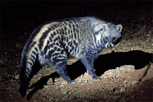 Африканская цивета - фото животного