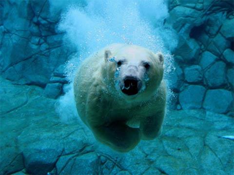 Белый медведь - животные красной книги