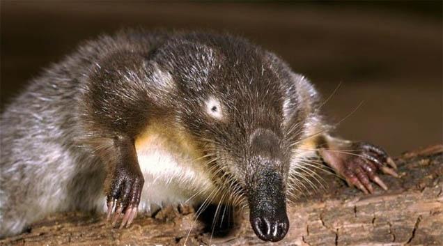 Выхухоль - фото животного
