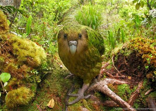 Какапо - фото животного