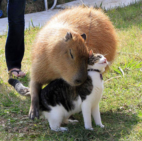 Капибара - фото животного