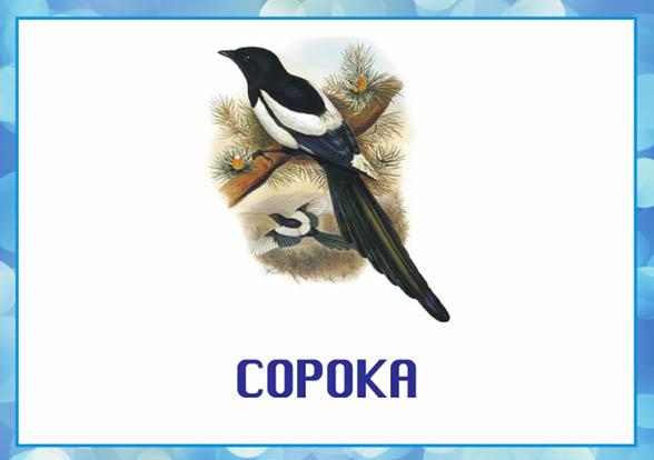 Картинки зимующие птицы - для детского сада красивые, прикольные 14