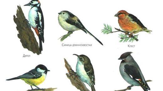 Картинки зимующие птицы - для детского сада красивые, прикольные 16
