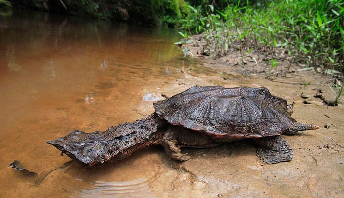 Матамата черепаха - фото животного