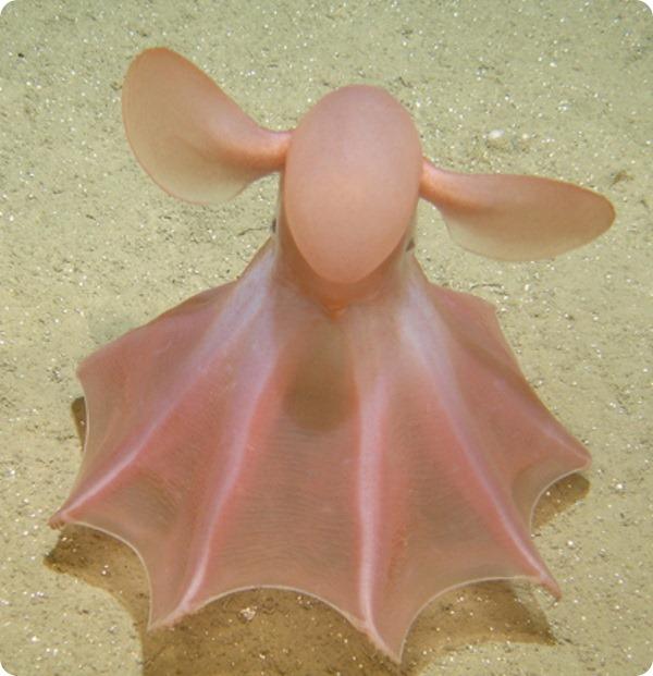 Осьминог Дамбо - фото животного