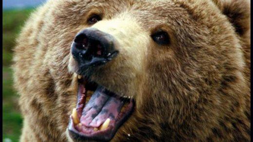 Медвежья желчь лечебные свойства и противопоказания, применение 2