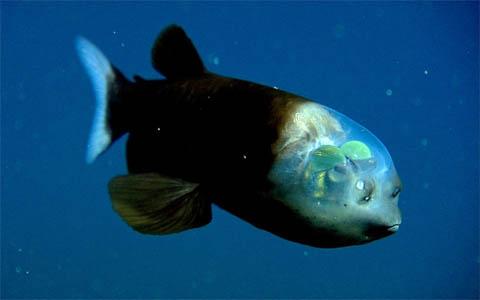 Рыба с прозрачной головой - фото животного