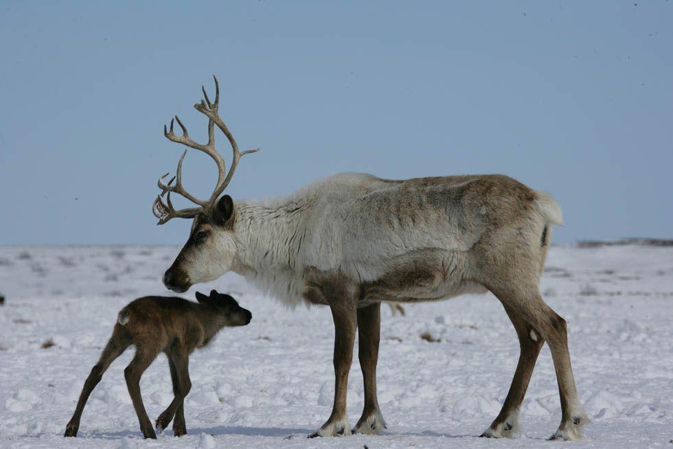 Северный олень - животные красной книги