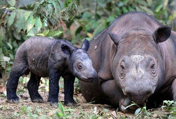 Суматранские носороги - фото животного