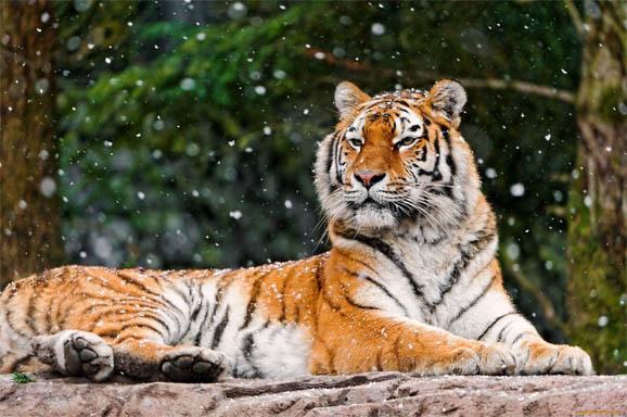 Тигр амурский - животные красной книги