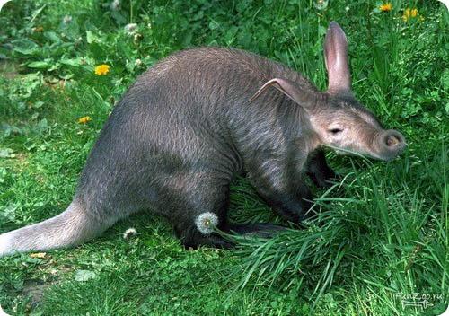 Трубкозуб - фото животного