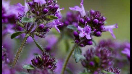 Чабрец - лечебные свойства и противопоказания, применение 5