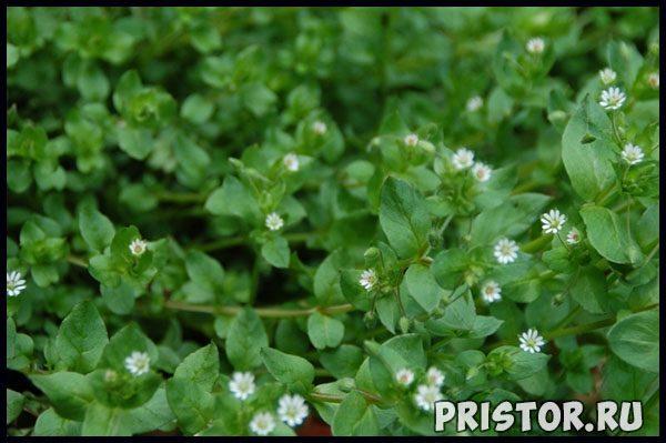 Мокрица трава - лечебные свойства, фото, противопоказания 3