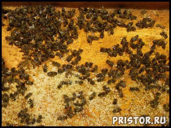 Подмор пчелиный - лечебные свойства и противопоказания, применение 2