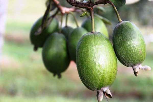 Фейхуахуа фрукт - красивые фото и картинки, смотреть 4