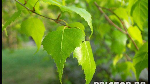 Листья березы - лечебные свойства и противопоказания, применение 1