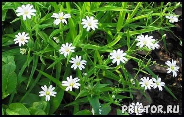 Мокрица трава - лечебные свойства, фото, противопоказания 1