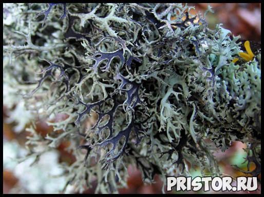 Исландский мох - лечебные свойства и противопоказания, применение 1