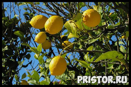 Как вырастить лимон из косточки в домашних условиях - с чего начать 3