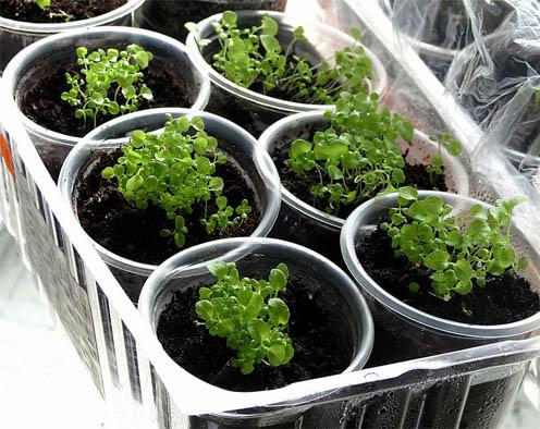 Как вырастить рассаду лобелии в домашних условиях - посадка и уход 3