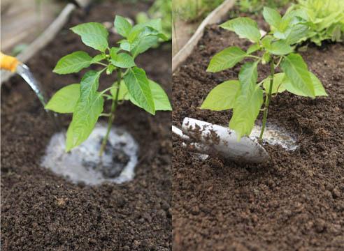 Как вырастить рассаду перца в домашних условиях - уход и посадка 3