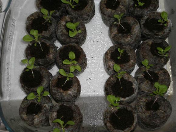 Как вырастить рассаду петунии в домашних условиях - уход и посадка 1