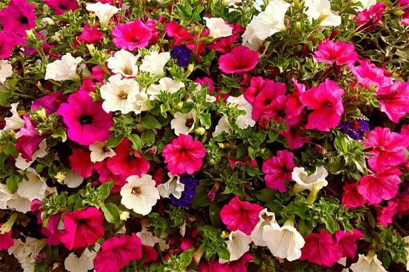 Как вырастить рассаду петунии в домашних условиях - уход и посадка 2