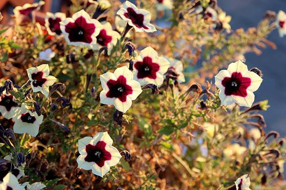 Как вырастить рассаду петунии в домашних условиях - уход и посадка 4