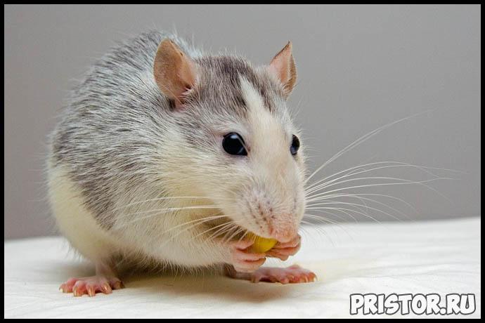 Как ухаживать за домашней крысой - секреты ухода и содержания 1