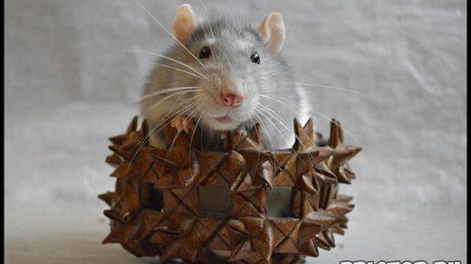 Как ухаживать за домашней крысой - секреты ухода и содержания 2