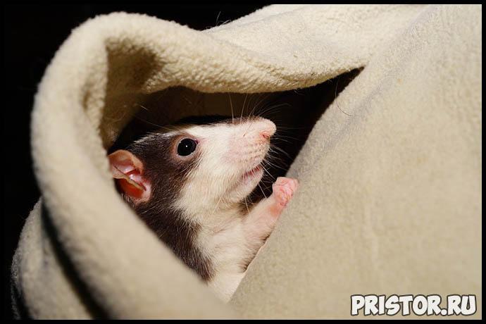 Как ухаживать за домашней крысой - секреты ухода и содержания 3