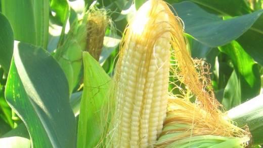 Кукурузные рыльца - лечебные свойства и противопоказания, применение 2