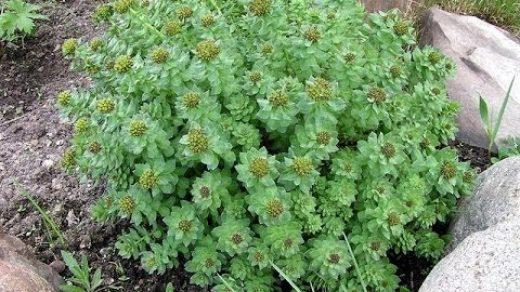 Солянка холмовая - лечебные свойства и противопоказания, применение 2