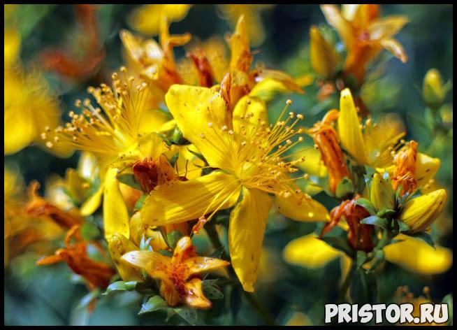 Трава зверобой - лечебные свойства и противопоказания, применение 2