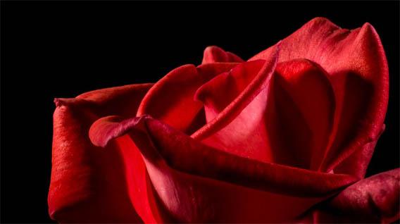 Цветы розы - фото, картинки, красивые, удивительные, интересные 1
