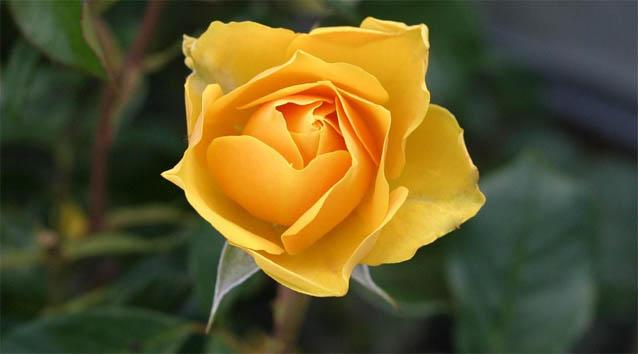 Цветы розы - фото, картинки, красивые, удивительные, интересные 12