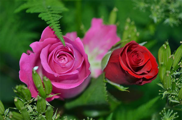 Цветы розы - фото, картинки, красивые, удивительные, интересные 14