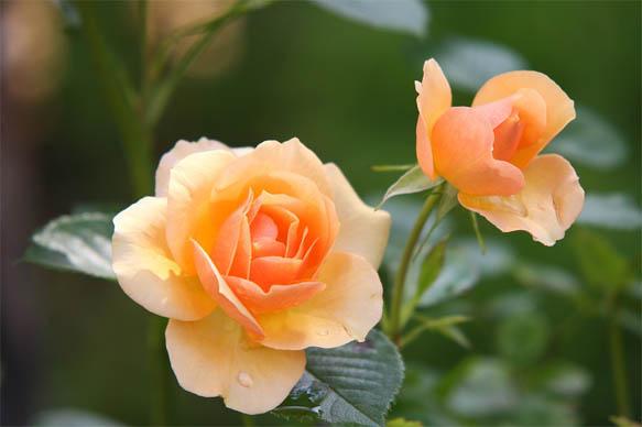 Цветы розы - фото, картинки, красивые, удивительные, интересные 15