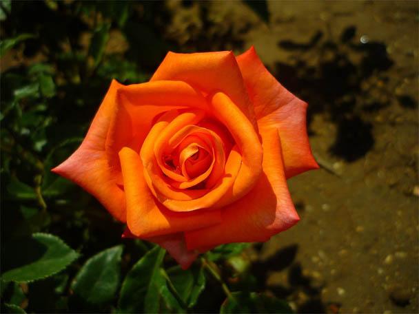 Цветы розы - фото, картинки, красивые, удивительные, интересные 2