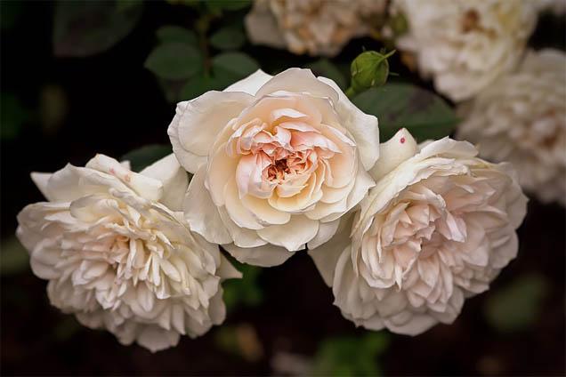 Цветы розы - фото, картинки, красивые, удивительные, интересные 5