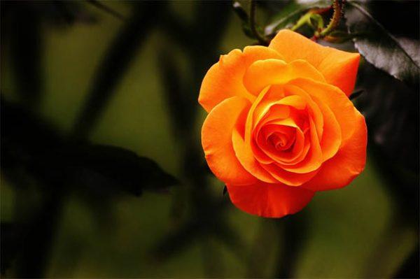 рыжие розы картинки