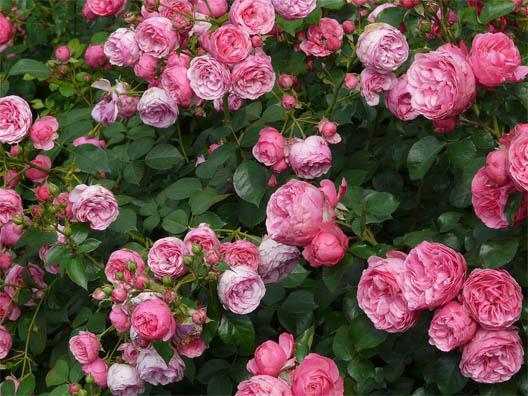 Цветы розы - фото, картинки, красивые, удивительные, интересные 7
