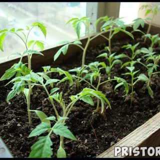 Как вырастить рассаду томатов в домашних условиях, уход 1