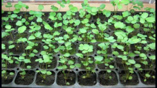 Как вырастить рассаду земляники в домашних условиях - уход и посадка 1